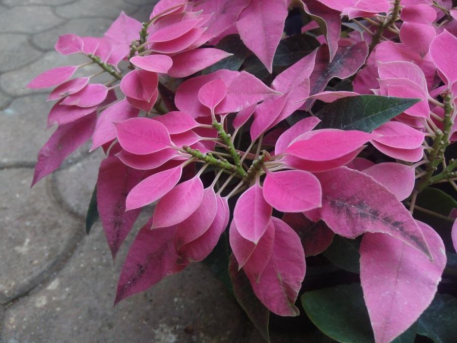 pink_beauty