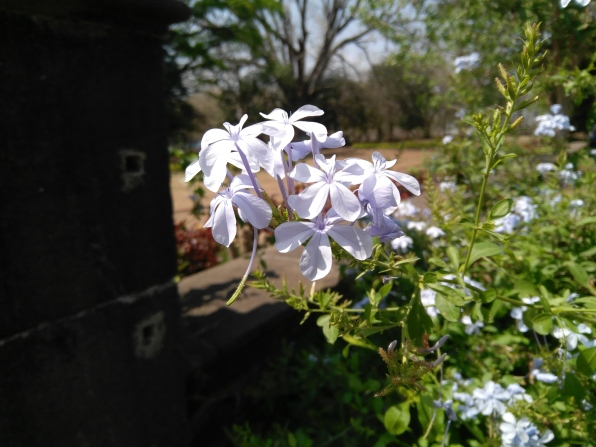 milky_white_flower